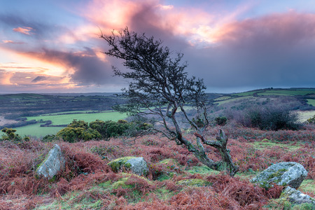 bodmin: A gnarled and twisted windswept Hawthorn tree on rugged moorland at Helman Tor near Bodmin in Cornwall