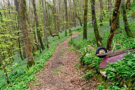 bluebell woods: Path leading through beautiful bluebell woods near Duloe in Cornwall