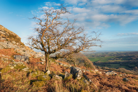 bodmin: Gnarled windswept trees growng on Sharp Tor near Henwood on Bodmin Moor in Cornwall