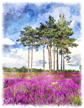 scots: Scots Pine trees and bell heather (Erica cinerea) in bloom at Arne in Dorset. Stock Photo