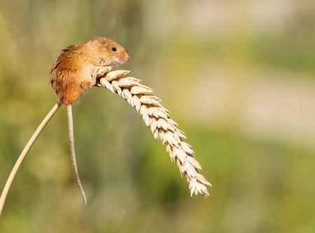 A tiny Harvest Mouse on an ear of corn