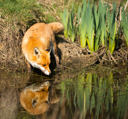 fox face: European red Fox drinking from a pond