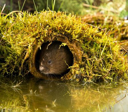 vole: European Water Vole - European water vole