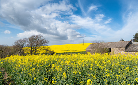 south east: Rapeseed fields on the Rame peninsula in south east Cornwall Stock Photo