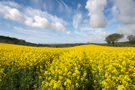 mustard field: Spring countryside of yellow rapeseed fields in bloom near Looe in Cornwall Stock Photo