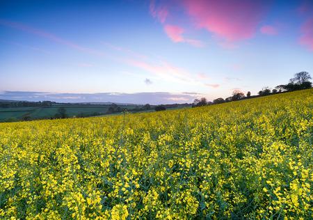 Sunrise over Mustard Seed Rape fields near Callington in Cornwall photo