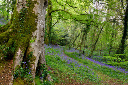 bluebell woods: Beautiful bluebell woods near Truro in Cornwall