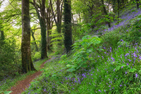 bluebell woods: A winding path leading through magical bluebell woods near Truro in Cornwall