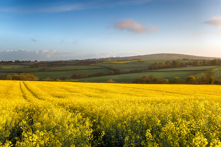 Spring fields of yellow rapeseed in bloom at Callington in Cornwall with Kit Hill in the background