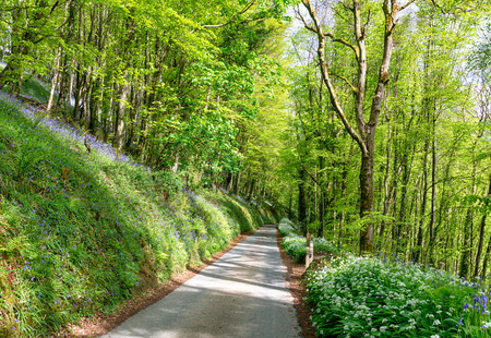 bluebell woods: A country lane leading through bluebell woods nd lined with wild garlic near Looe in Cornwall Stock Photo