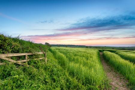 comida inglesa: Exuberantes campos verdes de cebada que crecen en el campo Inglés
