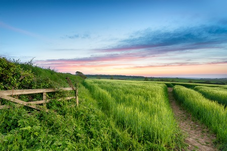 countryside landscape: Lush green fields of barley growing in the English countryside Stock Photo