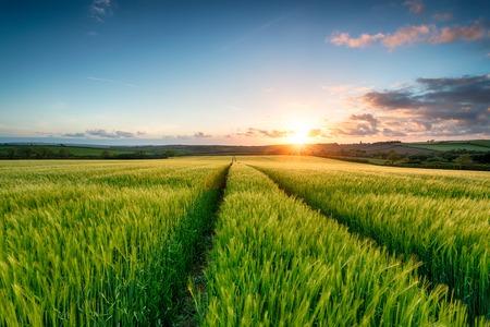 sol naciente: Puesta de sol sobre los campos de cebada verde y exuberante que crecen cerca de Wadebridge en Cornualles