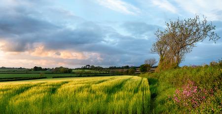 bodmin: Sunset over barley fields near Bodmin in Cornwall Stock Photo