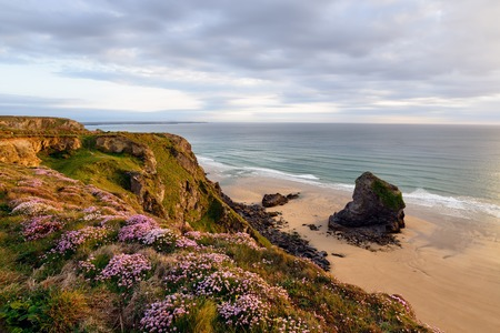 thrift: A carpet of sea thrift flowering on the Cornwall coast at Bedruthan Steps