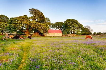 mire: Ponies grazing in a meadow of bluebells at Emsworthy Mire on Dartmoor National Park in Devon