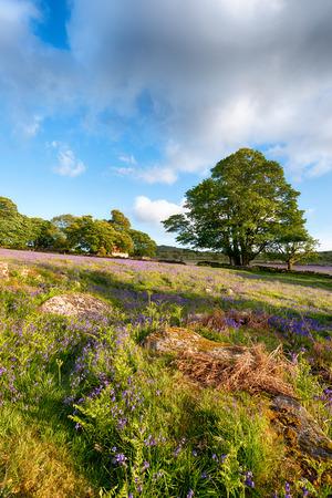 mire: Bluebells at Emsworthy Mire on Dartmoor National Park in Devon