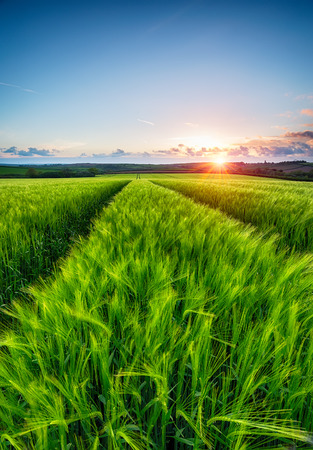 A field of fresh green barley at sunset Stock Photo
