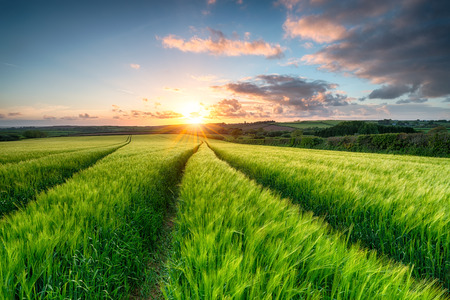 sol naciente: Puesta de sol sobre campos campos de la maduraci�n de la cebada cerca de Wadebridge en Cornualles