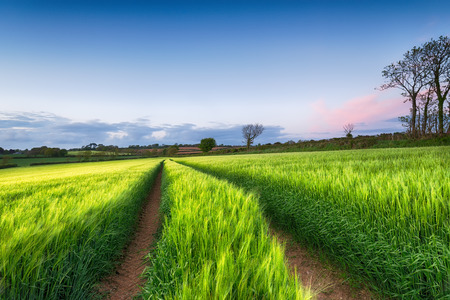 A field of fresh green barley growing in Cornwall photo