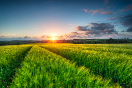 Beautiful sunset over a sea of lush green barley blowing in the breeze