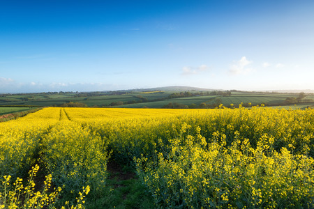 Mustard seed rape fields early on a summer morning near Callington in Cornwall with Kitt Hill in the background photo