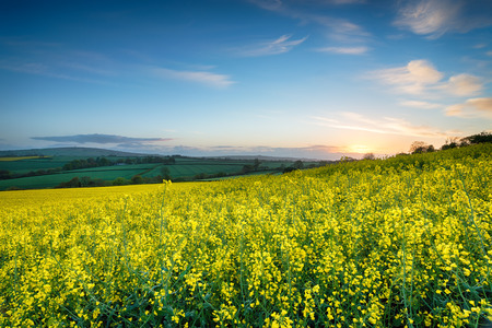 mustard field: Fields of mustard seed rape growing near callington in Cornwall