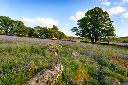 arbol roble: Una hermosa pradera Bluebell en Emsworthy Mire en el Parque Nacional de Dartmoor, en Devon