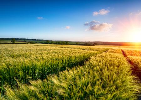 cebada: Un campo de la cebada de maduraci�n en el sol Foto de archivo