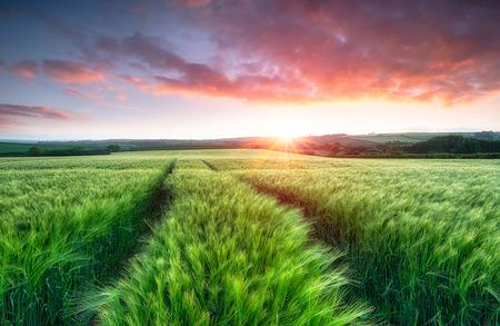Stunning sunrise over fields of ripening barley photo