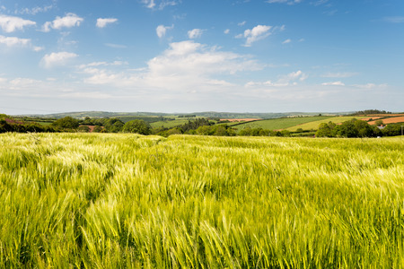 countryside landscape: Summer in the Englsih countryside at barley fields near West Taphouse in Cornwall Stock Photo