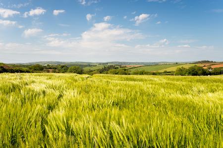 paisaje rural: Verano en el campo Englsih en campos de cebada cerca de West Taphouse en Cornualles