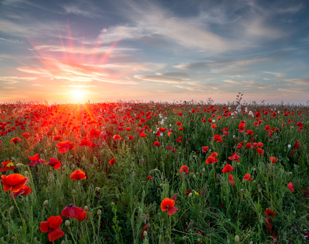 Sunset over a field of vibrant red Poppies and wildflowers