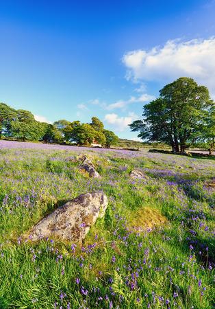 mire: Summer bluebells growing at Emsworthy Mire on Dartmoor National Park in Devon