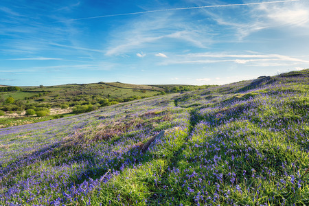 Bluebell carpet at Holwell Lawn on dartmoor National Park in Devon