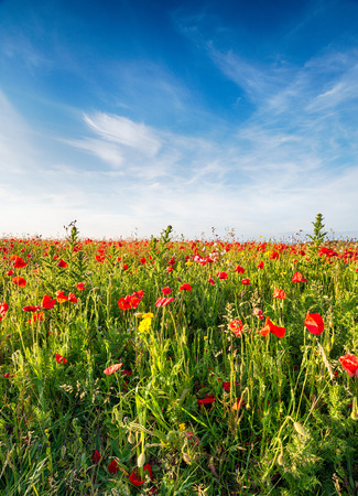 polly: A filed of Poppies and wild flowers on cliffs above Polly Joke beach near Newquay in Cornwall