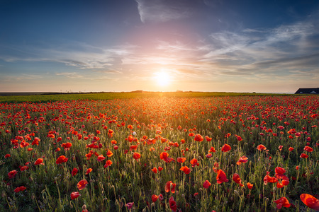 Sunset over a field of Poppies 版權商用圖片