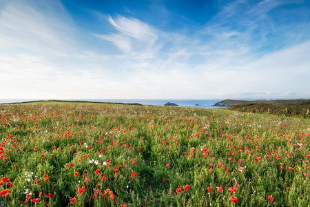 south west coast path: Papaveri in un prato di fiori di campo sul percorso costa sud-ovest di West Pentire vicini a Newquay in Cornovaglia Archivio Fotografico