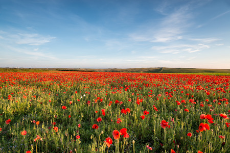 Beuatiful summer Field Poppies in bloom at West Pentire near Nequay in Cornwall