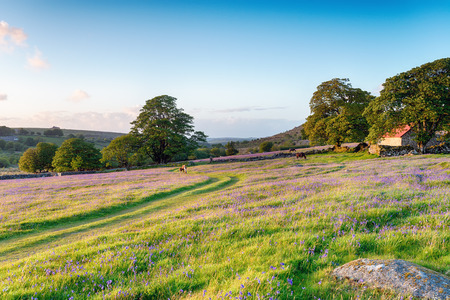 mire: Dartmoor ponies grazing in the evening on a bluebell meadow by an old red roofed barn