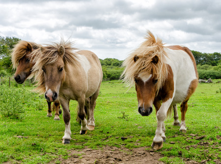 bodmin: Moorland Ponies on Bodmin Moor in Cornwall