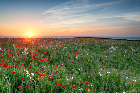 A meadow of wildflowers and Poppies above Polly Joke beach at West Pentire in Cornwall
