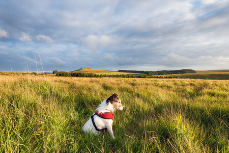 bodmin: A Jack Russell Terrier dog wearing a red harness and enjoying relaxing in the evening sun on Bodmin Moor in Cornwall Stock Photo