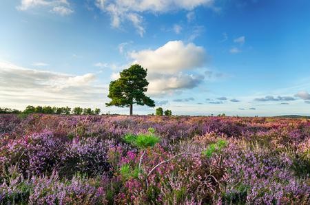 햄프셔의 새 Forset 국립 공원 보라색 헤더의 카펫