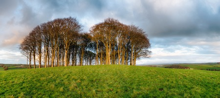 copse: A copse of bare winter trees on a grassy hill near Lifton in Devon