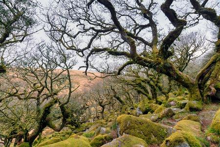 gnarled: Gnarled oaks at Wistmans Wood on Dartmoor in Devon
