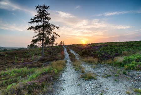 heathland: Dorset heathland of heather and pine trees at Stoborough Heath near Wareham