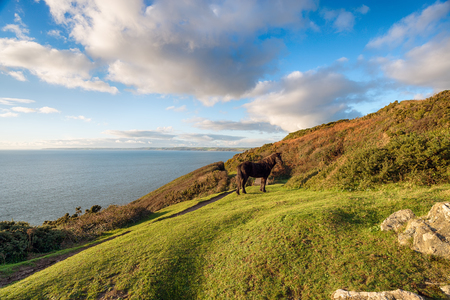 english west country: A Dartmoor Pony on Rame Head on the south coast of Cornwall