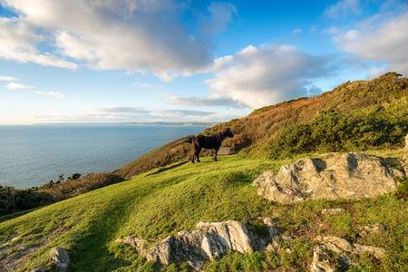 south west england: A Dartmoor Pony on cliffs at Rame Head in Cornwall Stock Photo