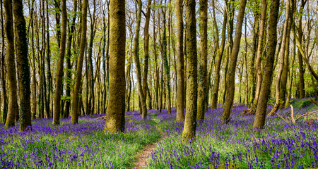Beautiful spring bluebell woods near Redruth in Cornwall